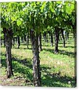 Grape Vines In A Row Acrylic Print