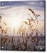 Grass At Sunset Acrylic Print