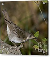 Gray-cheeked Thrush Acrylic Print