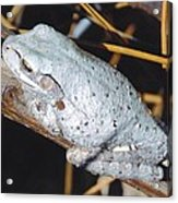 Gray Treefrog Acrylic Print