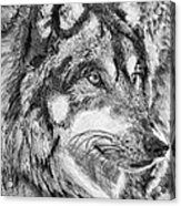 Gray Wolf Watches And Waits Acrylic Print