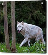 Gray Wolf White Morph Acrylic Print by Mark Newman