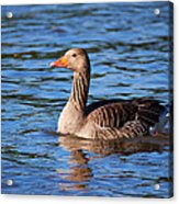 Graylag Goose Acrylic Print