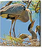 Great Blue Heron Adult Feeding Nestling Acrylic Print