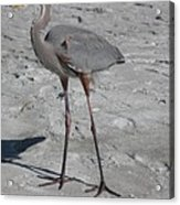Great Blue Heron On The Beach Acrylic Print