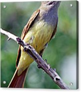 Great Crested Flycatcher With Captured Acrylic Print