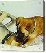 Great Dane And Australian Sheperd Acrylic Print
