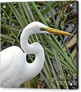 Great Egret Close Up Acrylic Print