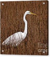 1- Great Egret Acrylic Print