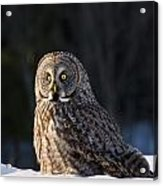Great Gray Owl Pictures 789 Acrylic Print