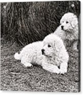 Great Pyramise Pups Acrylic Print