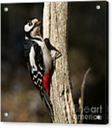 Great Spotted Woodpecker  Acrylic Print