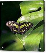 Green Butterfly Acrylic Print