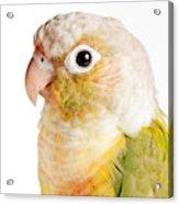 Green-cheeked Conure Pineapple P Acrylic Print