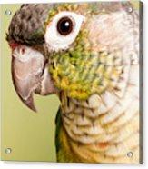 Green-cheeked Conure Pyrrhura Molinae Acrylic Print