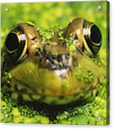 Green Frog Hiding In Duckweed Acrylic Print
