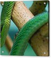 Green Snake Acrylic Print