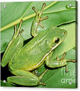 Green Tree Frog Acrylic Print