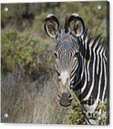 Grevys Zebra Stallion Acrylic Print