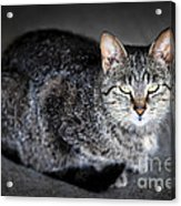 Grey Cat Portrait Acrylic Print