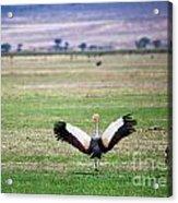 Grey Crowned Crane. The National Bird Of Uganda Acrylic Print