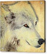 Grey Wolf Art Acrylic Print