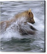 Grizzly Bear Chasing Fish Acrylic Print