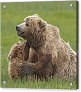 Grizzly Bear Playing With Cub Lake Acrylic Print