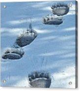 Grizzly Bear Tracks Acrylic Print