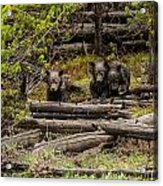 Grizzly Triplets After Rain Acrylic Print