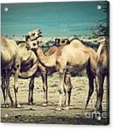 Group Of Camels In Africa Acrylic Print
