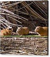 Guinea Pig Livestock At Lake Titicaca Peru Acrylic Print