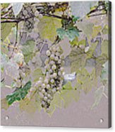 Hanging Thompson Grapes Sultana Acrylic Print