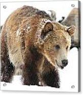 Happy Grizzly Bear Acrylic Print