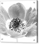 Harmony Scarlet Anemone Acrylic Print