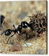 Harvester Ant Acrylic Print