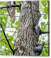Hawk Hunting For A Squirrel On An Oak Tree Acrylic Print