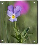 Heart's Ease Wild Viola Acrylic Print