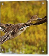Hen Northern Pintail In Flight  Acrylic Print