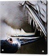 Heron Feathers Acrylic Print