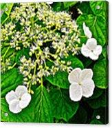 Hobblebush On Mackinac Island-michigan Acrylic Print