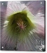 Hollyhock Named Indian Spring Pink Acrylic Print