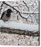 Hooded Crow First Snow Acrylic Print