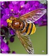 Hornet Mimic Hoverfly Acrylic Print by Science Photo Library
