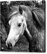 Horses Acrylic Print by Thomas Leon