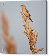 House Sparrow (passer Domesticus Acrylic Print