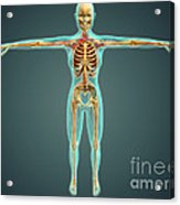 Human Body Showing Skeletal System Acrylic Print