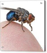 Human Botfly Belize Acrylic Print