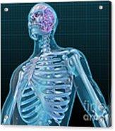 Human Skeleton And Brain, Artwork Acrylic Print