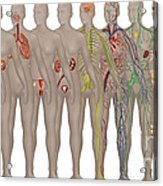 Human Systems In The Female Anatomy Acrylic Print